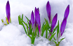 crocuses in snow_thumbnail